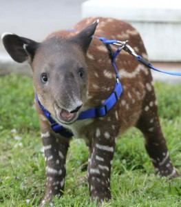 Baby tapir. Photo by Keith Lovett.
